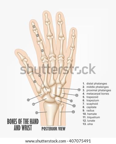 Bones Hand Wrist Anatomy Stock Illustration - Royalty Free Stock ...