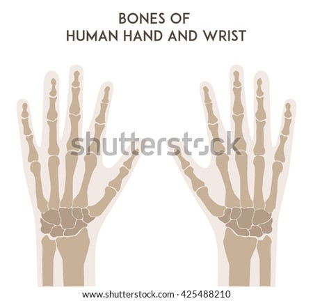 Bones Human Hand Wrist Medically Accurate Stock Illustration ...