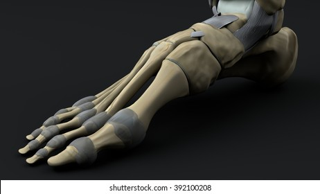 bones and joints of the foot inside face