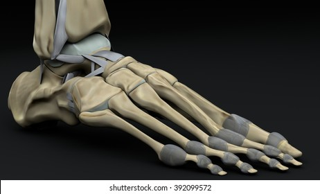 bones and joints of the foot outer face