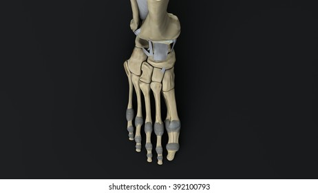 bones and joints of the foot upper projection