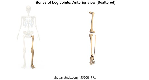 bones of the left lower limb 3d illustration