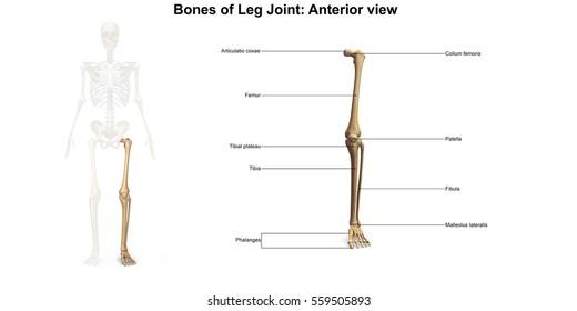 Bones of the lower limb anterior view 3d illustration