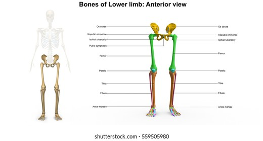 Bones of the lower limb anterior view 3d illustration