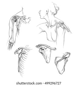 Bones of shoulder, Hand drawn medical illustration drawing with imitation of lithography