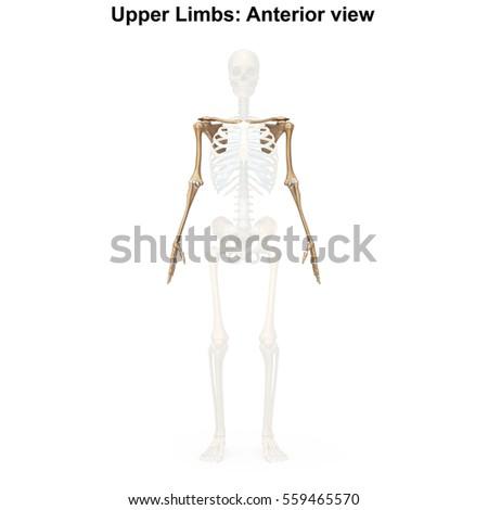 bones upper limbs 3 d illustrationのイラスト素材 559465570