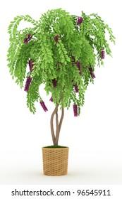 bonsai wisteria in pot Isolated over white