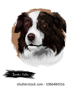 Border Collie, Scottish Sheepdog dog digital art illustration isolated on white background. United Kingdom origin herding dog. Cute pet hand drawn portrait. Graphic clip art design for web, print