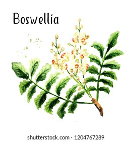 Boswellia carterii Frankincense tree branch with leaves and flowers. Watercolor hand drawn illustration  isolated on white background