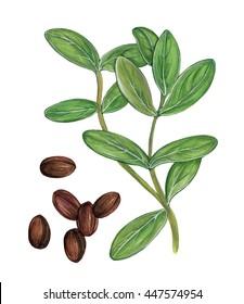 botanic illustration of jojoba ( Simmondsia chinensis) plant with leaves and seeds