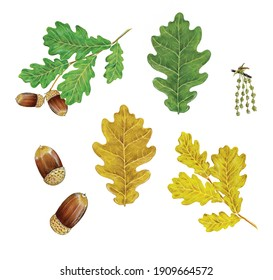 botanic realistic hand drawn watercolor illustration of common oak (Quercus robur) with red and yellow leaves, branches, flowers and acorns isolated on white
