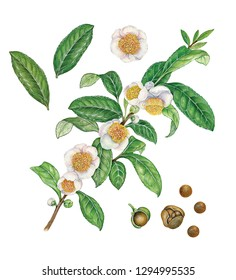 botanic realistic watercolor hand drawn illustration of tea plant (camellia sinensis) with leaves. flowers, fruit and seed and a branch with leaves and flowers isolated on white
