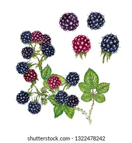 botanic realistic watercolor hand drawn illustration of blackberry (rubus fruticosus) with fruits and a branch with leaves and fruits isolated on white