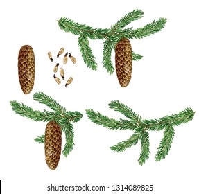 botanic realistic watercolor hand made illustration of a branch of norway spruce (picea abies) with pine cone and seeds isolated on white