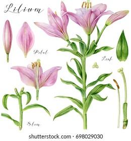 Botanical art. Watercolor pink pale lily. Parts of flower. Botanical illustration.