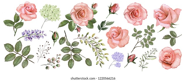 Botanical collection of pink roses. Set: flowers, roses, leaves, twigs, buds. Watercolor.