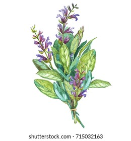 Botanical drawing of a Sage. Watercolor beautiful illustration of culinary herbs used for cooking and garnish. Isolated on white background
