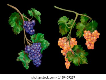 Botanical drawings with acrylic paints. A collection of beautiful grape branches. Set of two decorative elements. Colorful realistic sketches. Different grape varieties.