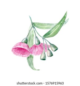 Botanical illustration of australian evergreen. Watercolor eucalypt flowers and gumnuts. Floral element for packaging, label, decoration design. Hand drawn pink fluffy flower isolated on white.