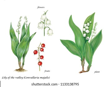 Botanical illustration of lily of the valley (Convallaria majalis): plant with leaves and flowers and seeds