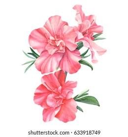 Botanical illustration on white background, azalea watercolor