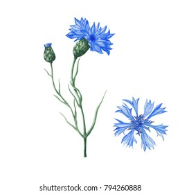 Botanical illustration of watercolor cornflowers