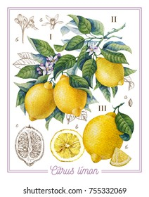 Botanical lemon. Watercolor