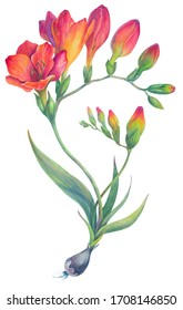 Botanical painting illustration freesia. A realistic drawing of a flower and buds. Red and orange tropical exotic flowers. Print for fabric, design element. Isolated on a white background
