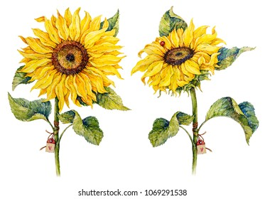 Botanical sunflowers. Watercolor illustration.