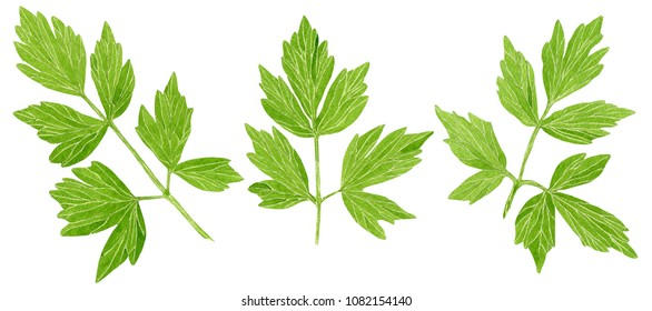 Botanical watercolor hand drawn illustration of a medicinal plant Lovage, Levisticum officinale, isolated on white background. Parsley.