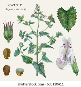 Botanical watercolor illustration of the culinary and healing plant Catnip (Nepeta cataria L.) For the design of encyclopedias, postcards, summer floral design. Isolated on a light background.