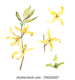 Botanical watercolor illustration of forsythia isolated on white background. Could be used as decoration for web design, cosmetics design, package, textile, card, invitation