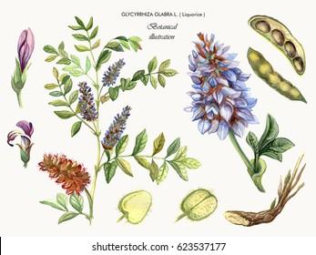 Botanical watercolor illustration of a medicinal plant liquorice. Glycyrrhiza glabra L.
