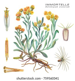 Botanical watercolor illustration of a medicinal plant Immortelle ( Helichrysum arenarium )