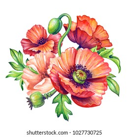 botanical watercolor illustration, red poppies bouquet, rustic poppy flowers isolated on white background