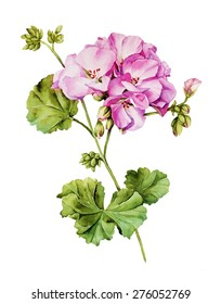 Botanical watercolor painting with Geranium flower in summer bloom