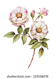 Botanical wild  rose flower watercolor