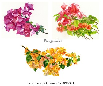 Bougainvillea flowers Poster.  Watercolor images in a poster, clip art, format on a white background. Red violet , orange, yellow bougainvillea