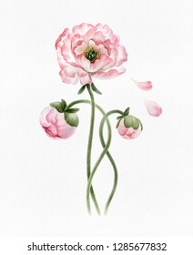 Bouquet of beautiful watercolor peonies isolated on white background. Botany watercolor peonies for design, postcards, banners, emblems, illustrations.