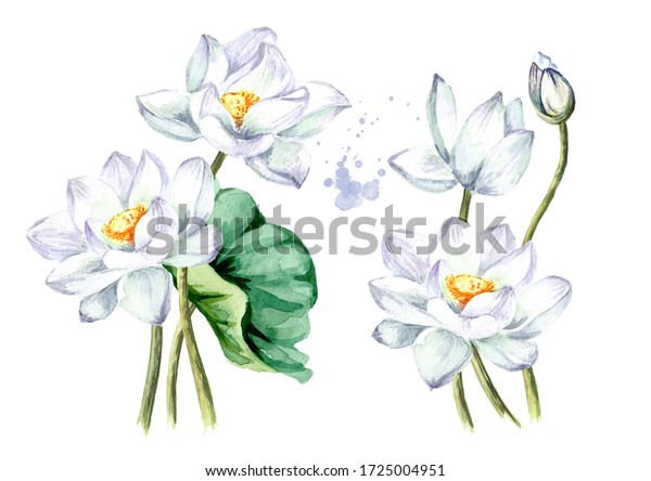 Bouquet of beautiful  white Lotus flowers set. Hand drawn botanical watercolor illustration isolated on white background