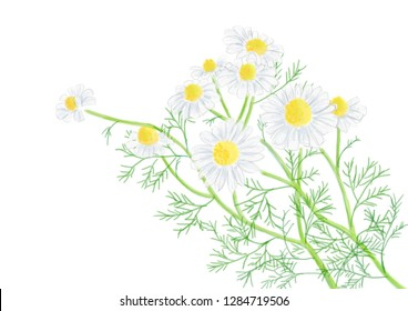 A bouquet of chamomile