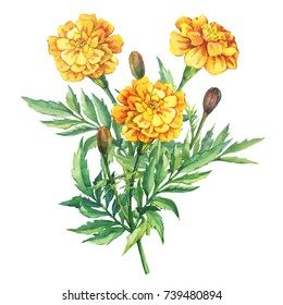 Bouquet of flowers Tagetes patula, the French marigold (Tagetes erecta, Mexican marigold). Garden plant. Watercolor hand drawn painting illustration isolated on white background.
