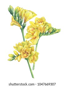 Bouquet of fresh branches yellow freesia Serrada flowers with buds. Hand drawn watercolor painting illustration isolated on white background.