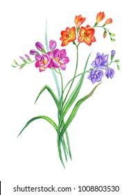Bouquet of multicolored freesia, watercolor drawing on white background, isolated with clipping path.