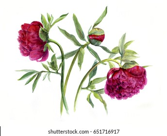 Bouquet of peonies with Bud. Sketch. Watercolor hand drawing illustration, isolated