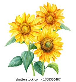 Bouquet of sunflowers on an isolated background, botanical illustration, flora design, watercolor flowers