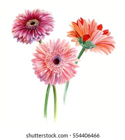 Bouquet of three gerberas. Watercolor sketch. Isolated on white background
