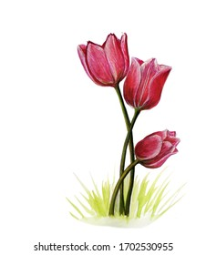 A bouquet of three watercolor drawn pink tulips on white background