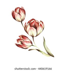 Bouquet of tulips. Watercolor illustration.