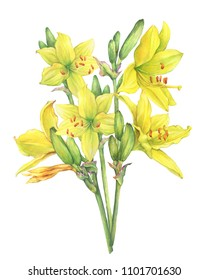 Bouquet of yellow lilies flower Hemerocallis lilioasphodelus (also called Lemon Lily, Yellow Daylily, Hemerocallis flava). Watercolor hand drawn painting illustration isolated on a white background.